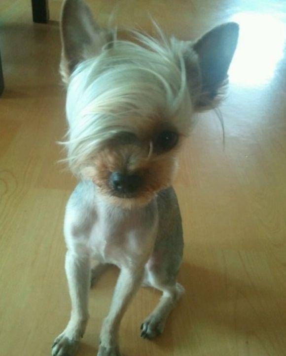 Emo hair dog @Dani McCurtain - OMG IT KIND OF LOOKS LIKE ...