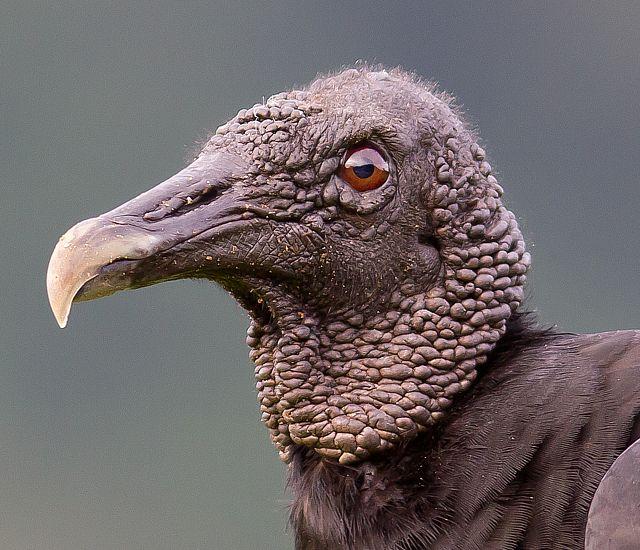 Foto urubu-de-cabeça-preta (Coragyps atratus) por Gabriel ...