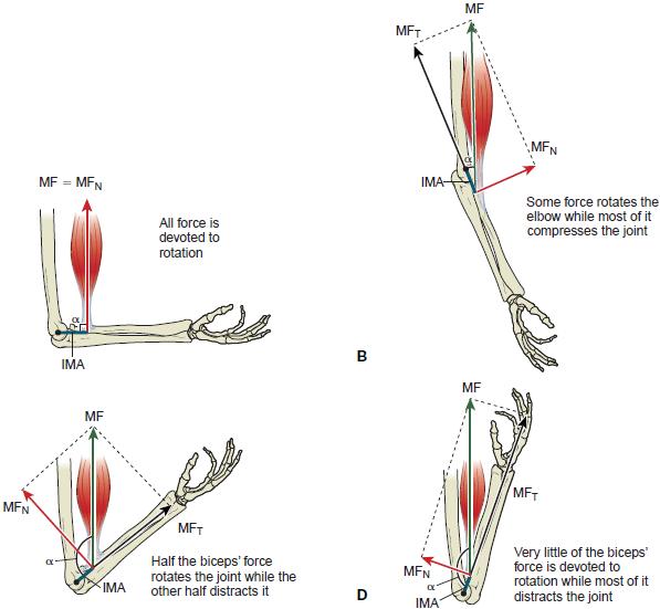 Биомеханика движения локтевого сустава.