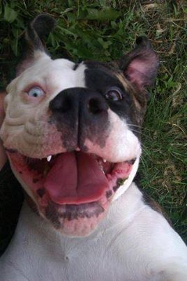 Pitbulls Lovers's photo: Smile Nothing better than a ...