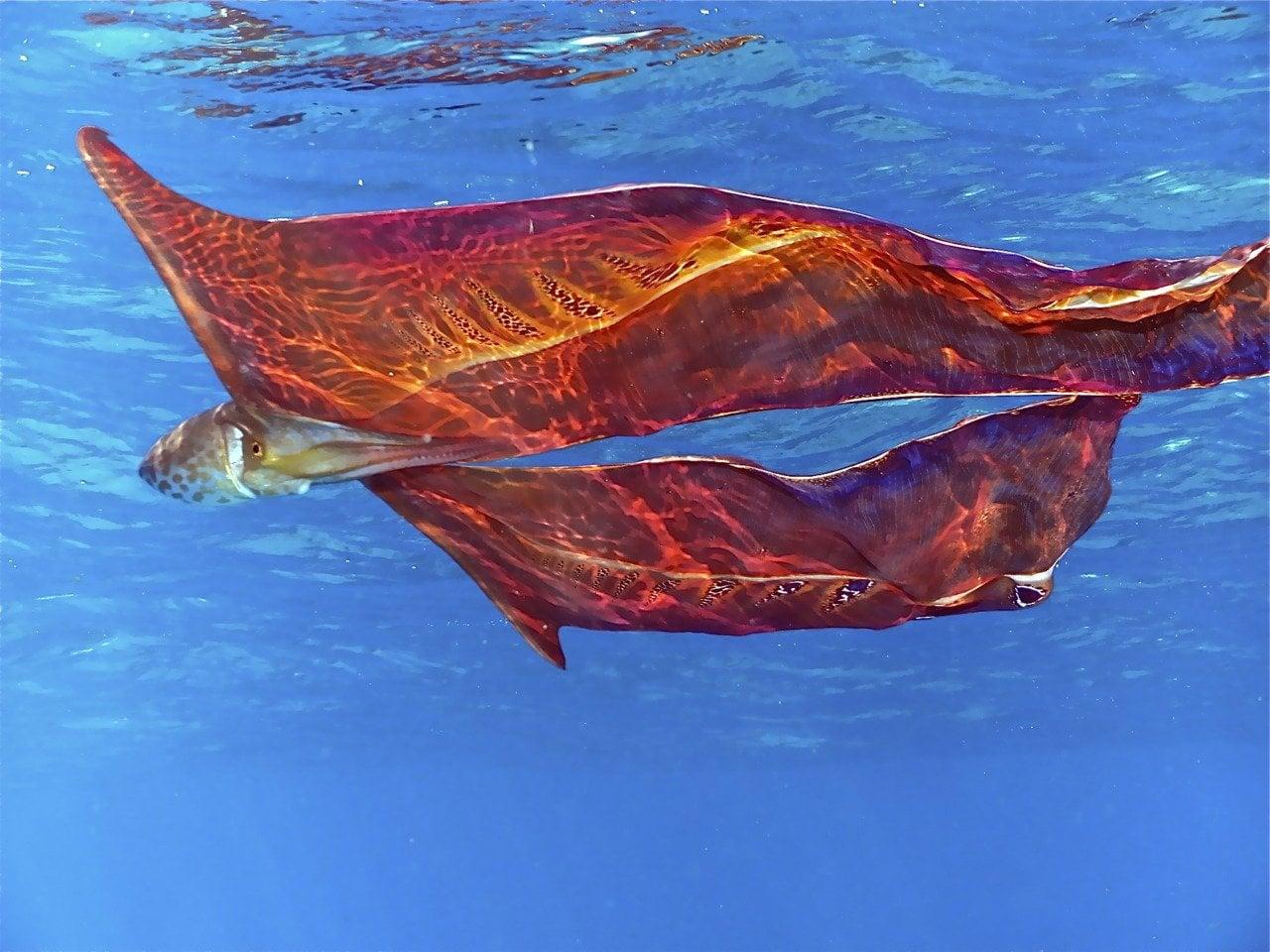 Blanket Octopus : pics