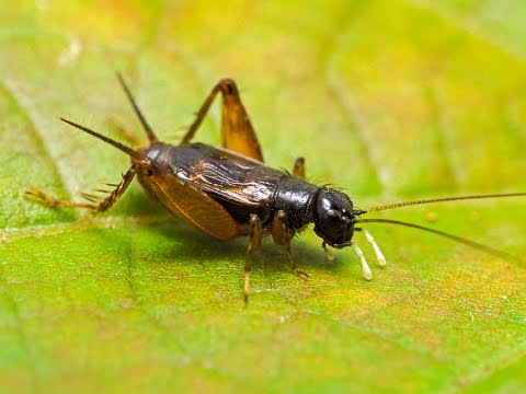 Loud Sounds of Crickets Chirping - HD Audio - YouTube