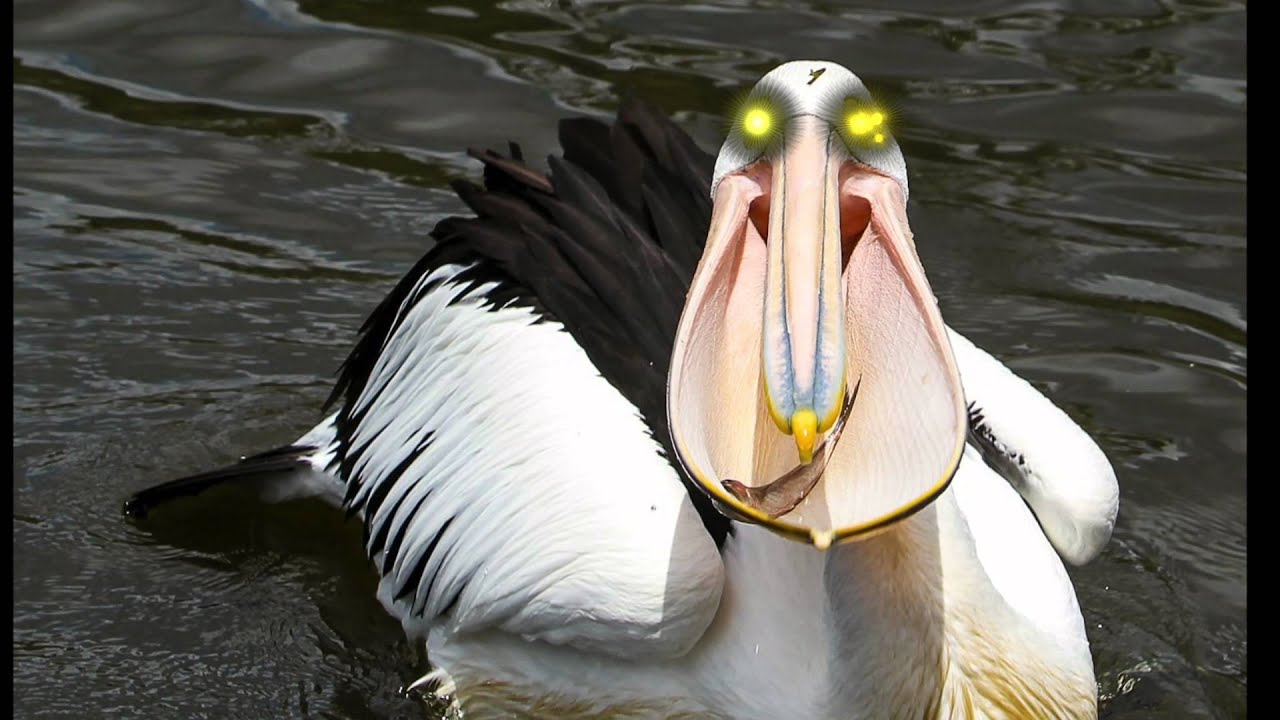 Stupid Evil Pelican - YouTube