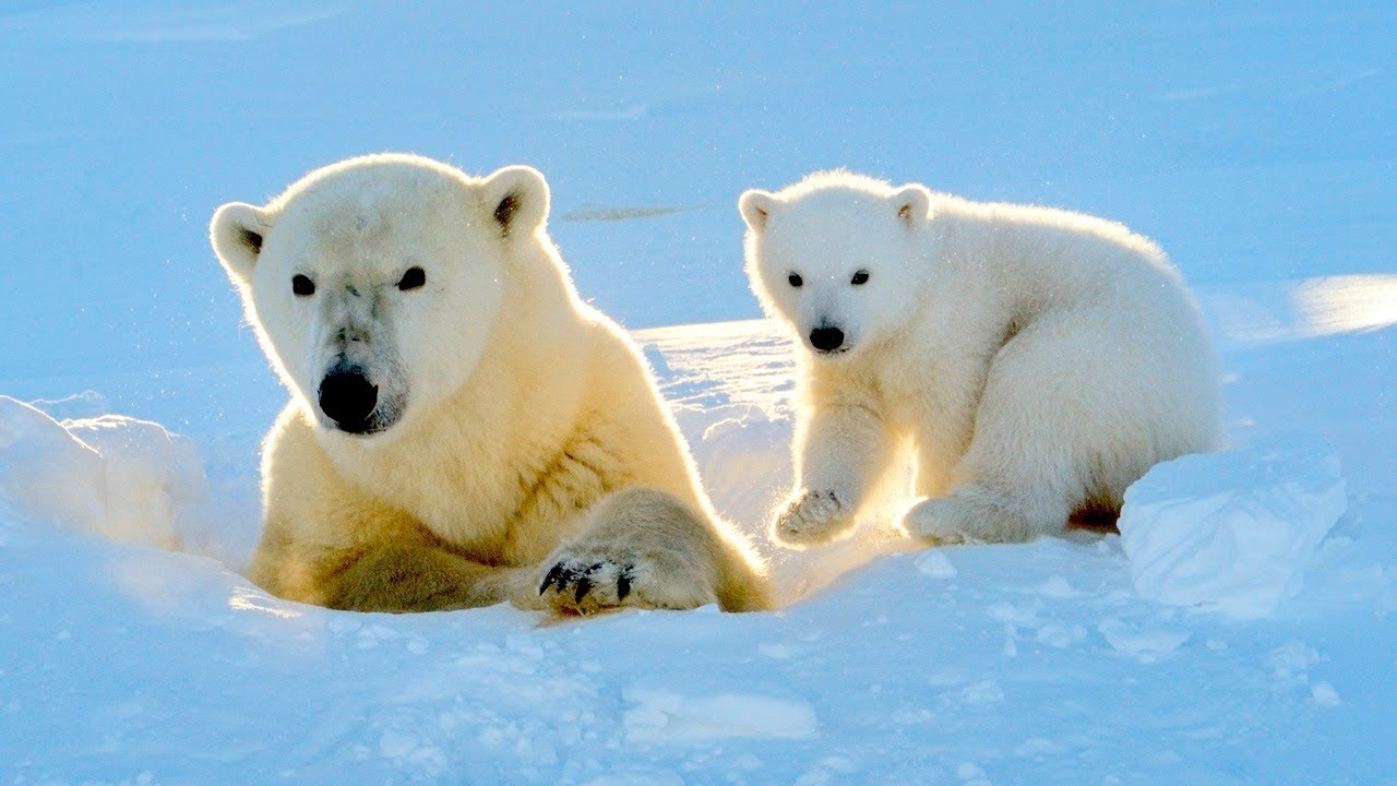 What Colour Is A Polar Bear's Fur? - YouTube