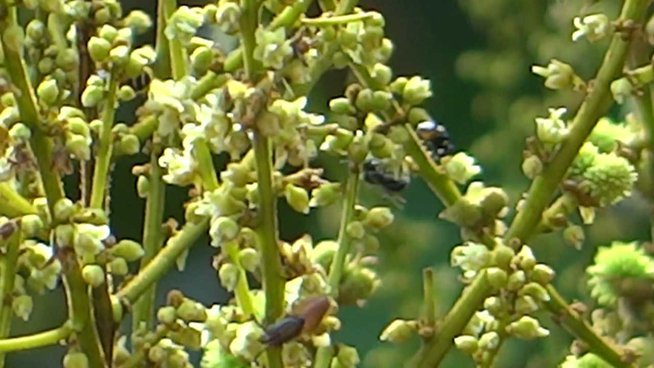 Bees collecting honey from Rambutan flowers - YouTube