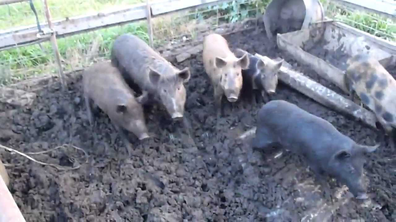 wild pigs in pen - YouTube