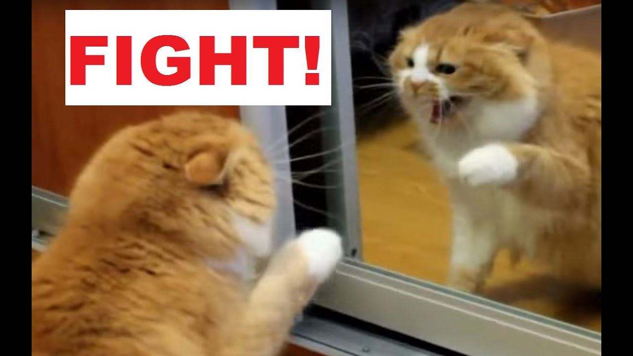Angry Cat Fight with Himself in a Mirror - YouTube