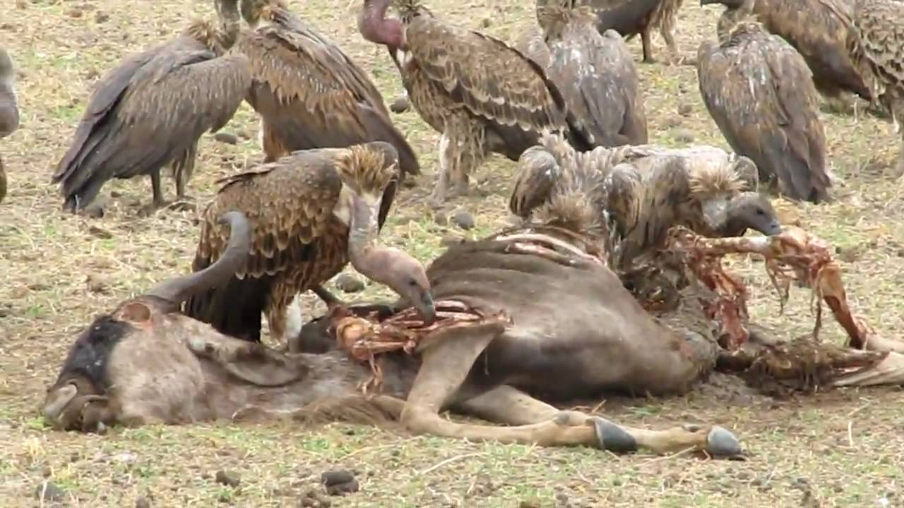 Vultures eating a wildebeest - YouTube