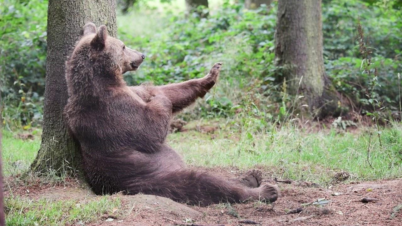 Eurasian brown bear (Ursus arctos arctos) scratching ...