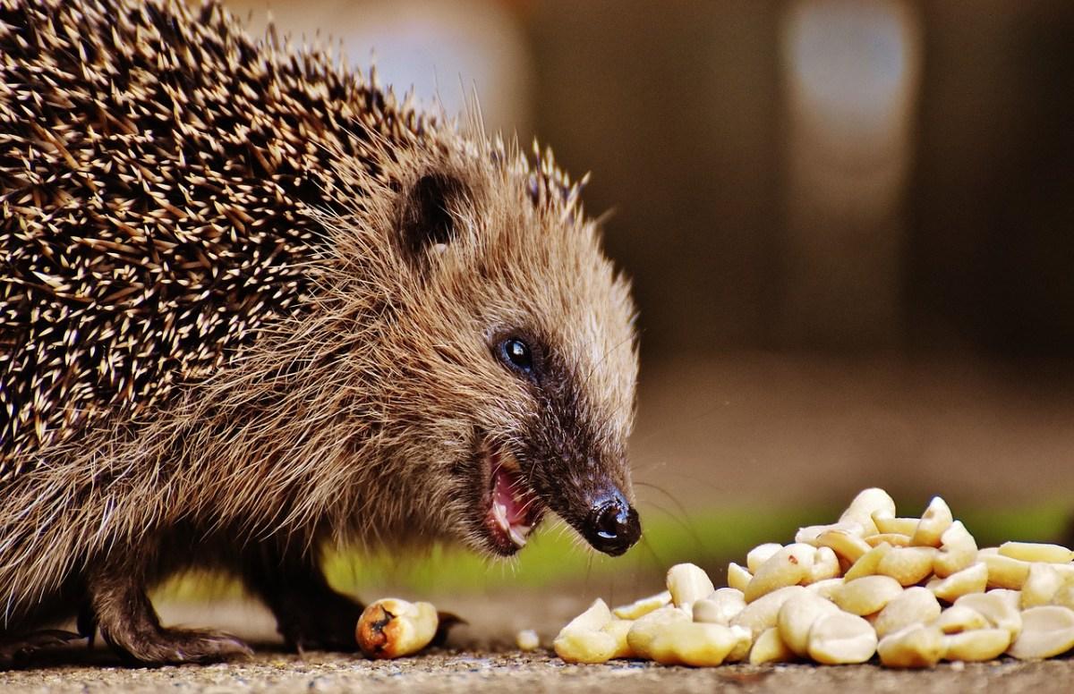 Dr. Hedgehog Is Pleased - CUTETROPOLIS