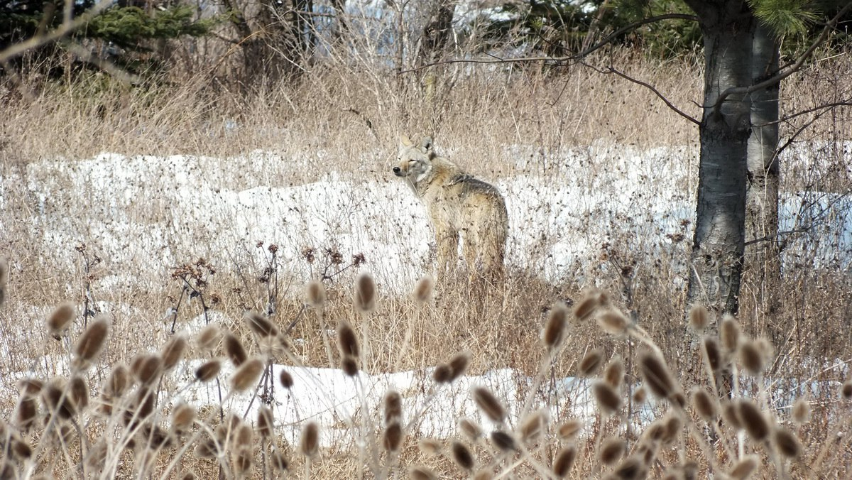 Unlike a wolf, a coyote has a bushy, thick tail, which it holds low to ...