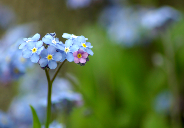 Forget Me Not | Imagery of Light