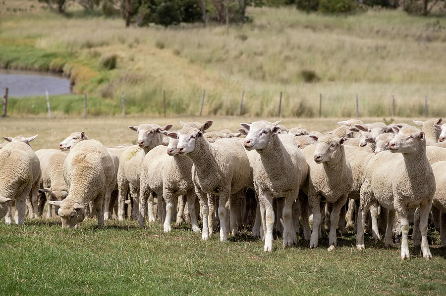 Flock Of Sheep Photograph by Your Nature and Travel Images