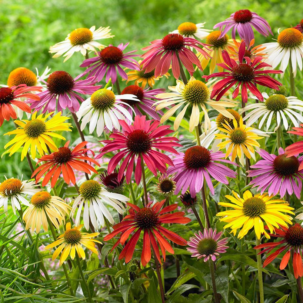 Van Zyverden Echinacea Cone Flower Mixed Roots (10-Set ...