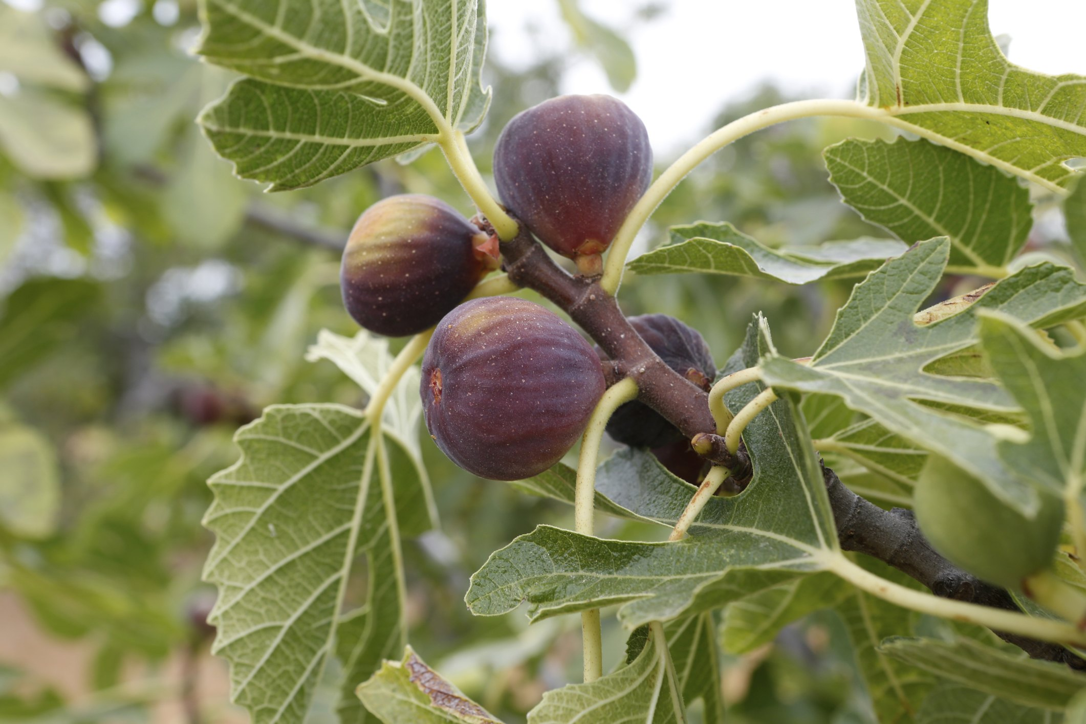 How to Grow Fig Trees in the Pacific Northwest | eHow