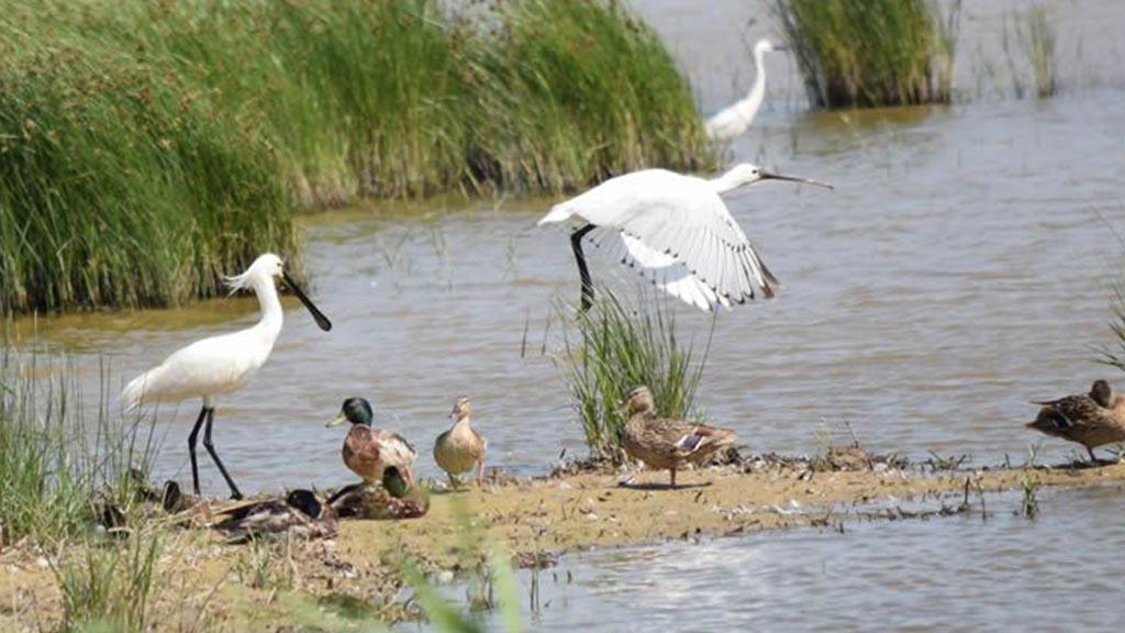 Els ocells al Delta del Llobregat canvien d'hàbits pel ...