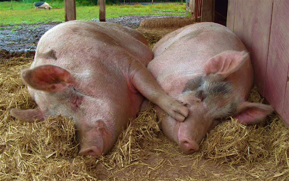 Pigs – Woodstock Sanctuary