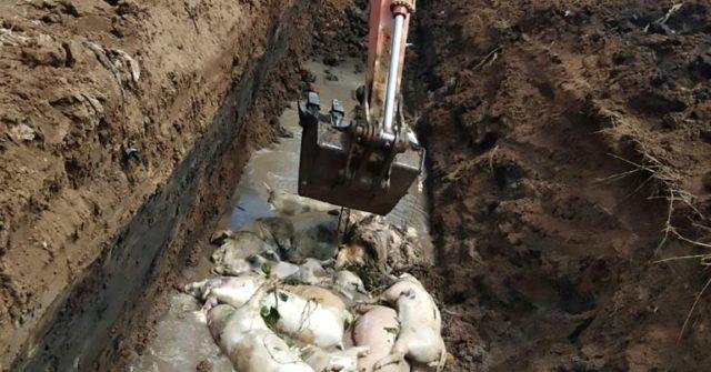 Cholera kills over 27,000 pigs in Indonesia…