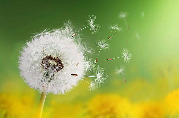 Royalty Free Dandelion Seed Pictures, Images and Stock ...