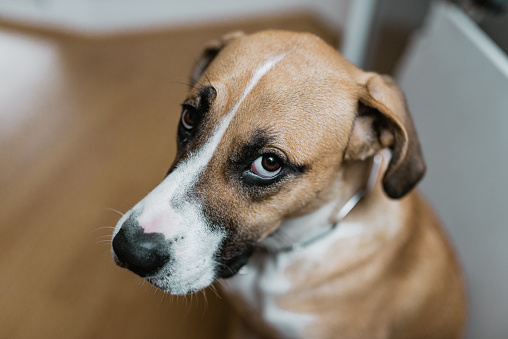 Guilty Dog Looking At You Stock Photo - Download Image Now ...