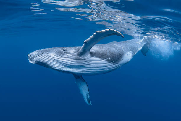 Humpback Whale Stock Photos, Pictures & Royalty-Free ...