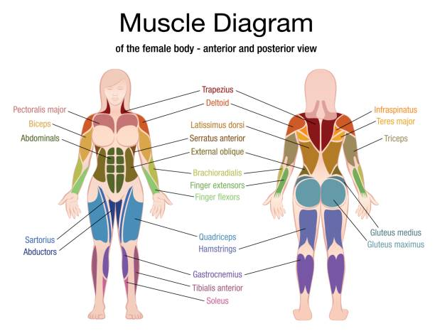 Best Abdominal Muscle Illustrations, Royalty-Free Vector ...