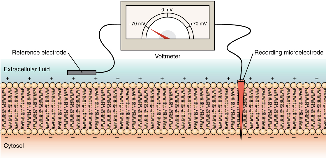 This diagram shows a cross section of a cell membrane. The extracellular fluid side of the cell ...