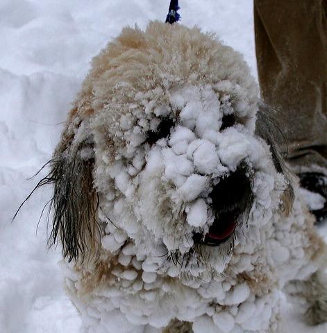 Snow Poodle   Pbenjay's Blog
