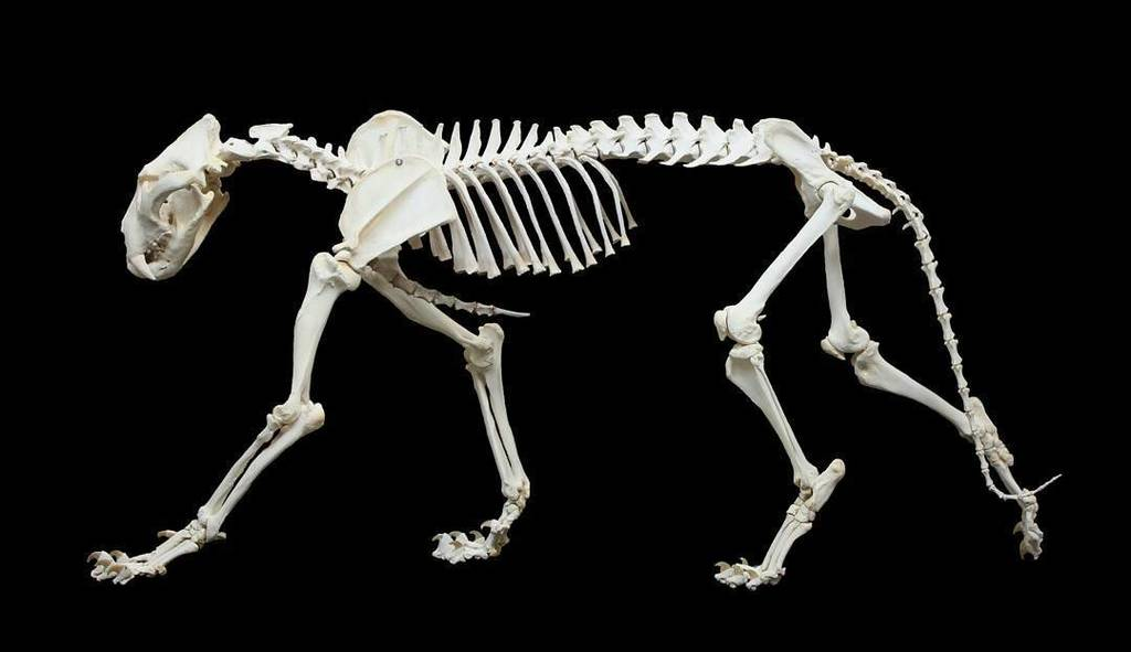"Vet Anatomy UofA on Twitter: ""African Lion Skeleton (male ..."
