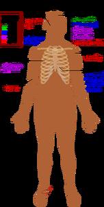 8814 free clipart human body outline | Public domain vectors