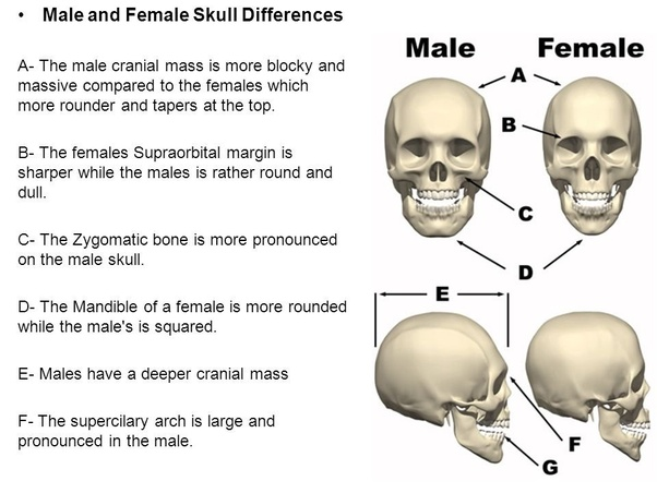 Are there differences between male and female skulls? - Quora