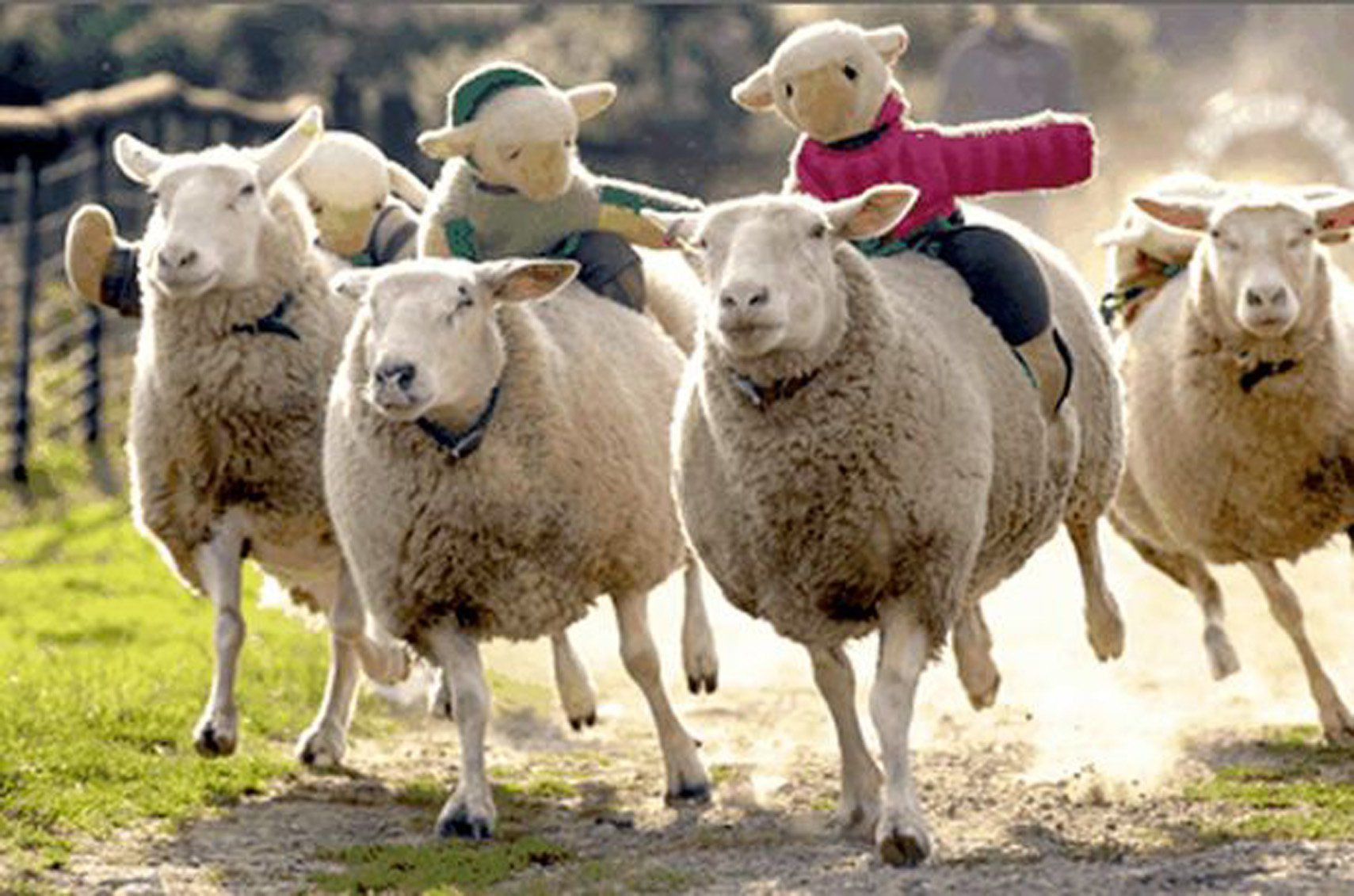 Sheep race organisers scrap event amid fears of ...