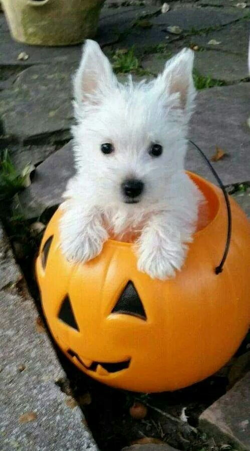 Adorable little Westie | Some of my favorite things ...