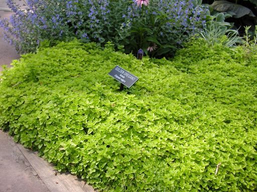 Golden oregano. Ground cover for under a Crape Myrtle. | Gardening Makes Me Happy | Pinterest ...