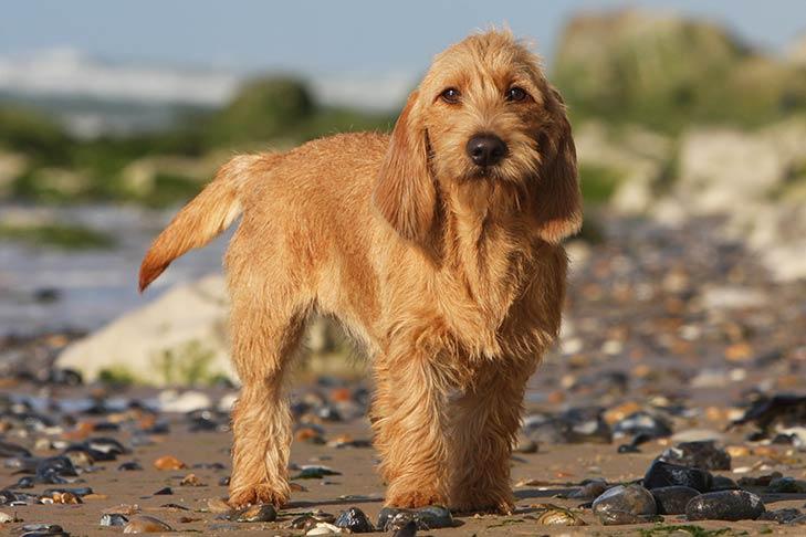Basset Fauve de Bretagne Dog Breed Information - American ...