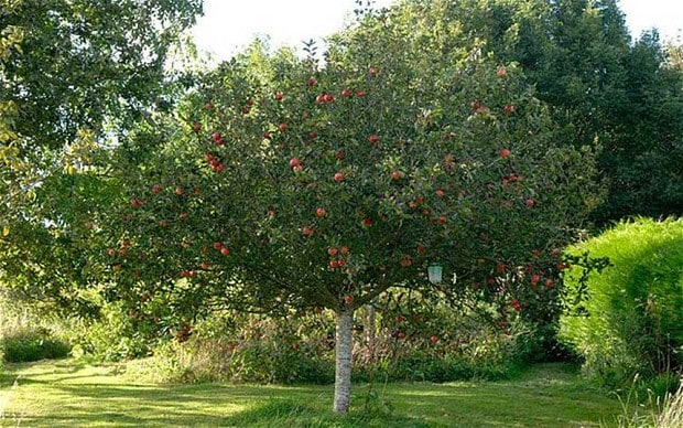 Thorny problems: is it practical to dig up an apple tree ...