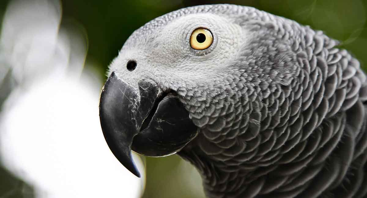 African Grey Parrot Lifespan - How Long Do Parrots Live?