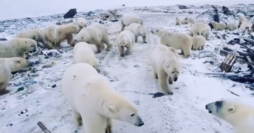 Polar Bears Have Invaded a Russian Outpost, and They're ...