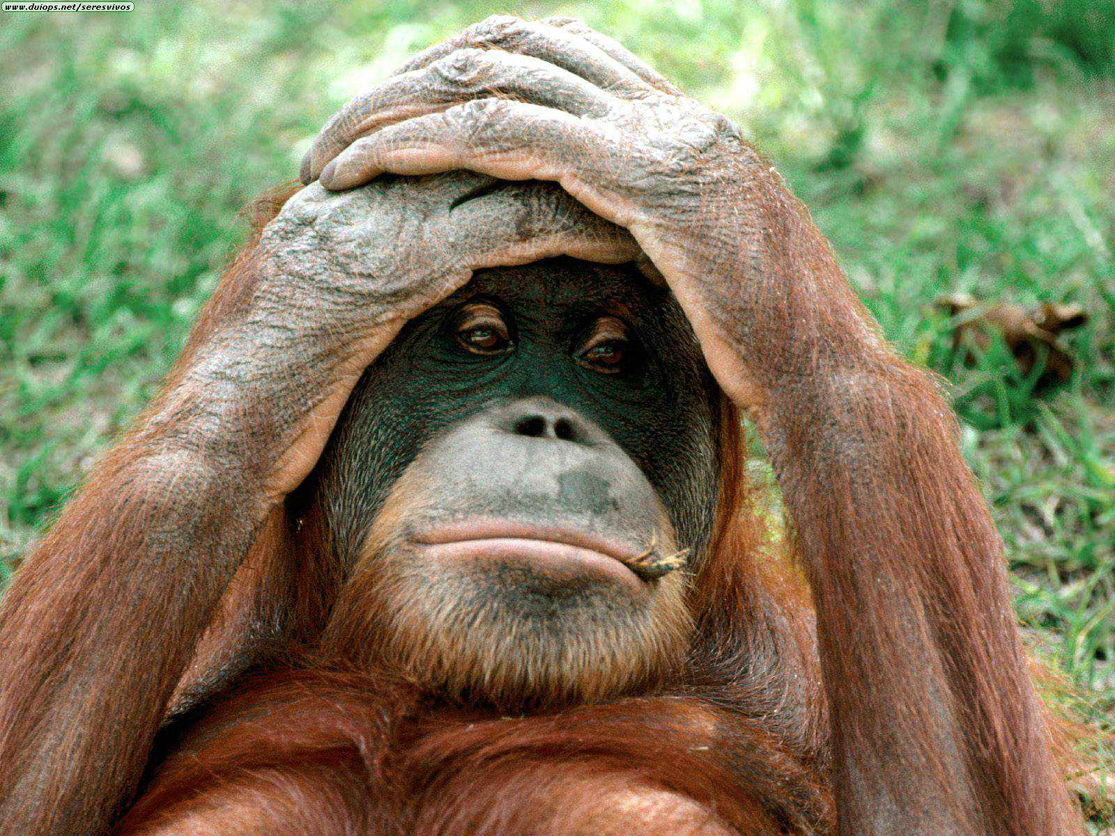 Monkeys - Orangutans hands on head | END Trophy Hunting NOW