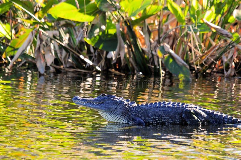 Alligator in Wetland stock photo. Image of alligators ...
