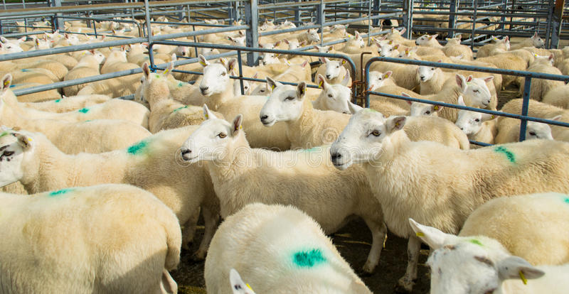 Flock Of Sheep In A Corral Royalty Free Stock Images ...