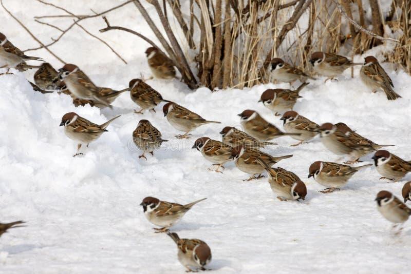Tree Sparrow, Passer Montanus Stock Image - Image of ...