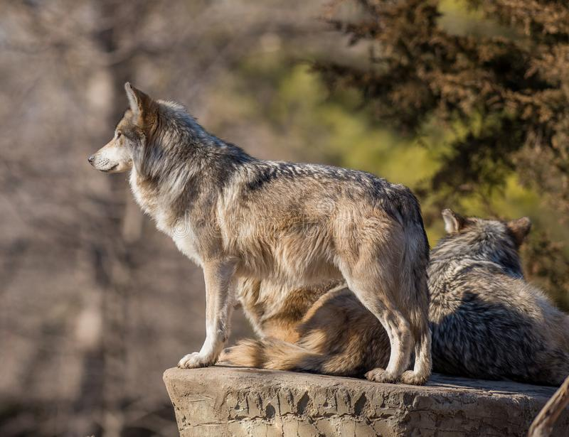 Timber wolf with prey stock photo. Image of gray, lupis ...