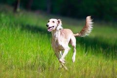 Saluki Persian Greyhound stock image. Image of nature ...
