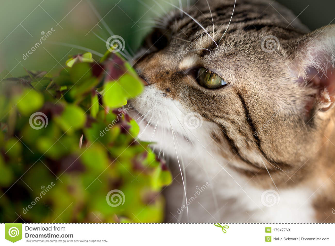 Cat And Four Leaved Clover Royalty Free Stock Images ...