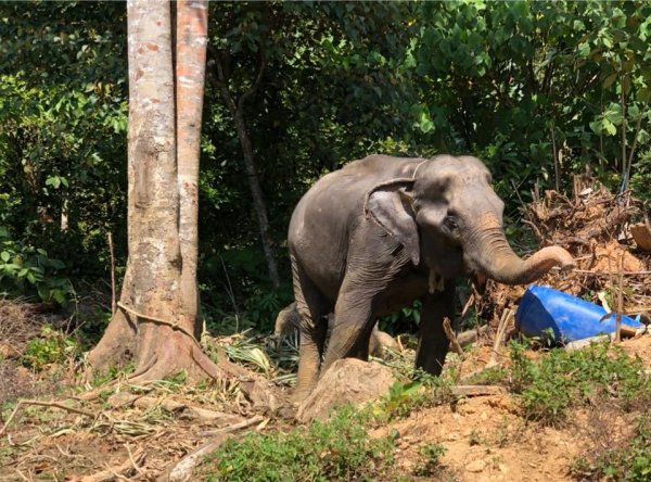 Malnourished, 55-Year-Old Elephant Tied To Tree Finally ...