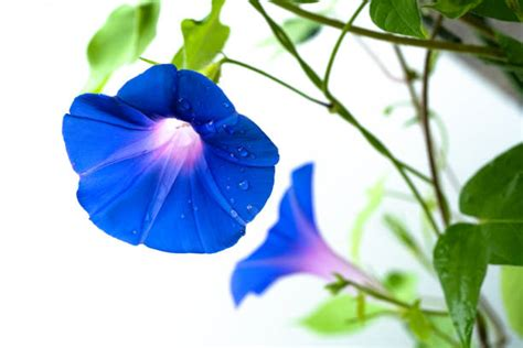 Morning Glory Stock Photos, Pictures & Royalty-Free Images ...