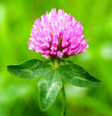 Red Clover Genome Sequenced | Genetics | Sci-News.com