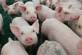 Cash Weaner Pig Prices Average $52.47, Down $3.06 Last ...