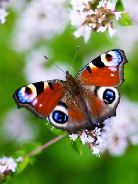 peacock butterfly   Peacock butterfly, Animal planet ...